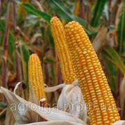 Насіння кукурудзи ДКС 2971 ФАО 200 фото