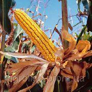 Насіння кукурудзи ДКС 4685 ФАО 340 фото