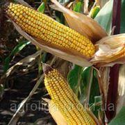 Насіння кукурудзи ДКС 4490 ФАО 370 фото
