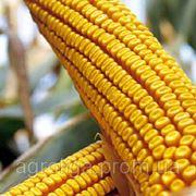 Насіння кукурудзи ДКС 391 ФАО 320 фото