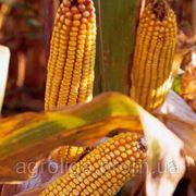 Насіння кукурудзи ДКС 4626 ФАО 360 фото