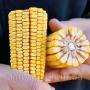 Насіння кукурудзи ДКС 440 ФАО 350 фото