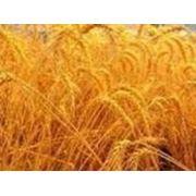 Озимая пшеница Почесна (Престиж) 1 репродукция фото