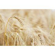 Пшеница озимая Селянка фото