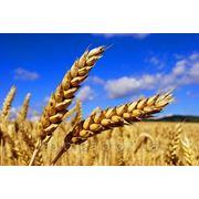 Пшеница озимая Повелия фото