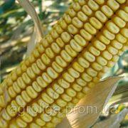 Насіння кукурудзи ДКС 3705 ФАО 300 фото