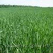 Озимая пшеница Куяльник (Элита) фото