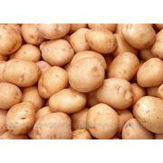 Реализуем картофель 2013г, лук, капусту. фото