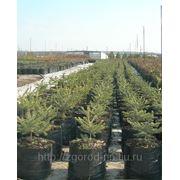Декоративные деревья и кустарники (саженцы) фото