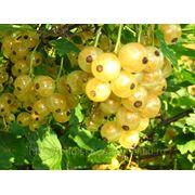 Саженцы плодово-ягодных и декоративных культур Бурятии фото