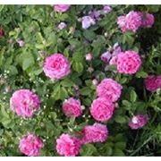 Саженцы роз в красноярске купить