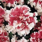 Петуния махровая крупноцветковая Пируэт Red фото