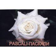 Розы (закрытая корневая система) фото