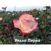 Купить саженцы розы в брянске оптом заказ посадочного материал цветов