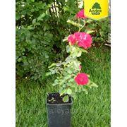 Роза Флорибунда / Rosa floribunda Nina Weibull (контейнер 3л) фото