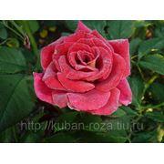 Большой выбор кустов роз от производителя .Сорт: Фидибус (спрей роза)