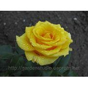 Роза Кронус С3