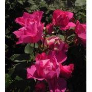 Роза флорибунда Cyclamen