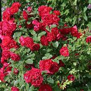 Парковая роза Hansaland