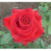 Большой выбор кустов роз от производителя . Сорт: лавли ред