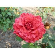 Большой выбор кустов роз от производителя . Сорт: ред интуишн