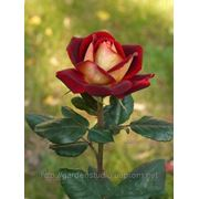 Роза Нью Фешн С2 фото