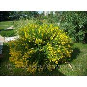 Акация желтая (Сaragana arborescens).Высота 0.5-0.7м.