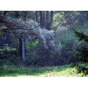 Ива серебристая (Salix alba).Высота 1.5-2м,2-3м.