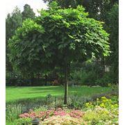 Клен остролистный (Acer platanoides).Высота 1.5-2м,2-2.5м,2.5-3м.