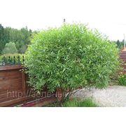 """Ива ломкая шаровидная (Salix fragilis """"Globosa"""").Высота 1.5-2м,2-3м. фото"""