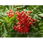 Рябина обыкновенная (Sorbus aucuparia).Высота 1.5-2м,2-2.5м,2.5-3м.