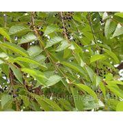 Черемуха Маака (Prunus maackii).Высота 1.5-2м,2-2.5м.
