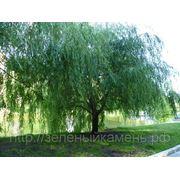 Ива плакучая (Salix babylonica).Высота 1.5-2м,2-3м. фото