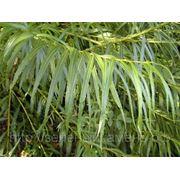 Ива Шверина (Salix schwerinii).Высота 1.5-2м,2-3м. фото