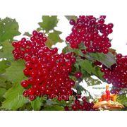 Калина садовая 1.2 фото