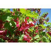 Клен татарский (Acer tataricum).Высота 1.5-2м,2-2.5м,2.5-3м. фото