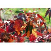 Клен Гиннала (Acer ginnala).Высота 1.5-2м,2-2.5м,2.5-3м. фото