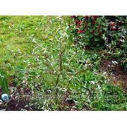 Ива извилистая (Salix babylonica var.tortuosa).Высота 1.5-2м,2-3м. фото