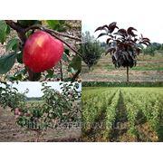 Саженцы яблони на слаборослом подвое СК-3