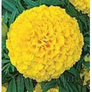 Бархатцы Перфекшн желтые фото