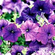 Петуния Фалкон Мид Блю (крупноцветковая) фото