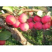Полукультурка ранетка слива груша смородина плодово-ягодный питомник фото