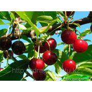 """Саженцы вишни """"Нана"""" фото"""