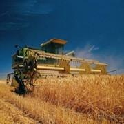 Продовольственная пшеница фото