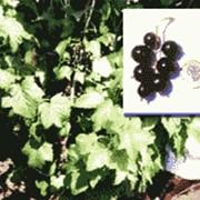 Саженцы черной смородины Вернисаж фото