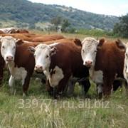 Скот породы Казахская Белоголовая фото