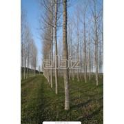 Санитарная обрезка деревьев,винограда,стрижка живых изгородей,хвойников фото