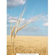 Пшеница твердая озимая фото