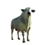 Телки, быки Аулиекольской породы 2015 фото