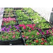 выращивание и реализация рассады цветов летников и многолетников фото